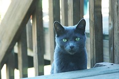 grey cat2