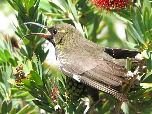 Dusky Sunbird by biancapreusker.