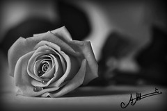 (A.A.A) Tags: morning white black love rose by canon photography sad you mark iii dramatic drop tear aaa amna irresistible eos1ds abdulaziz althani phtograph canoneos1dsmarkiii