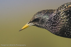 Starling Sturnus vulgaris