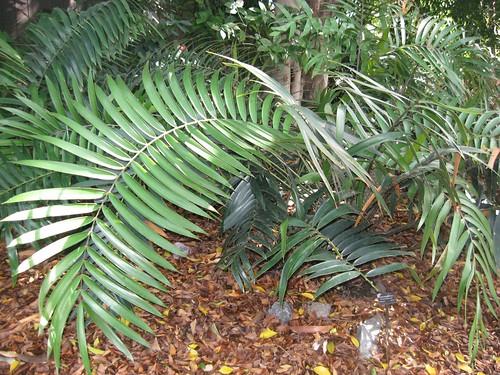 ceratozamia mexicana1