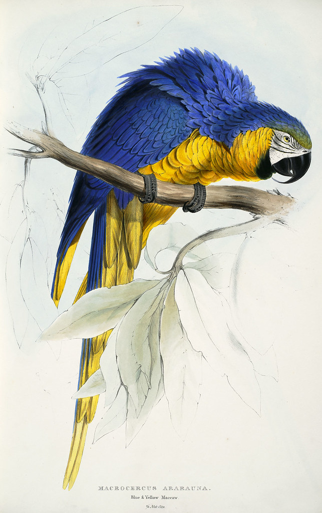 Macrocercus ararauna. Blue and yellow maccaw