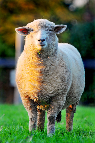 Bicolor sheep