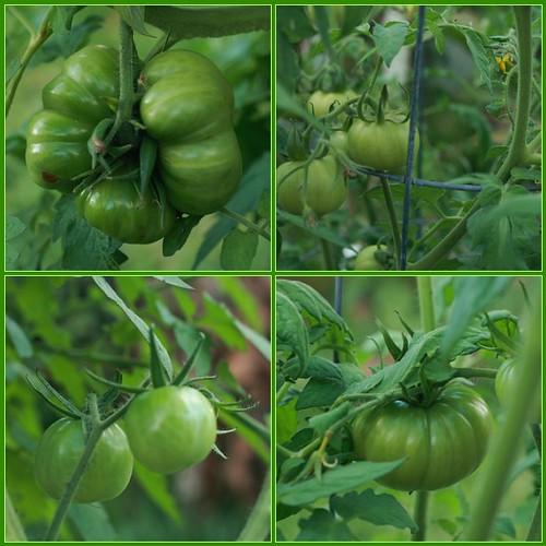 November Tomatoes