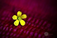 .beautiful.today. (.krish.Tipirneni.) Tags: pink flower macro beautiful beauty yellow thanks lensbaby nikon bokeh small magenta banana petal deepika keka d80 rktnature kevvu puvvu aratipuvvu puvvukevvu puvvulapandaga