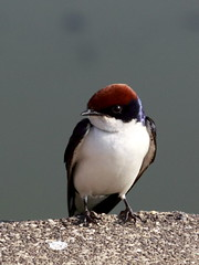 Wire Tailed Swallow (K. Shreesh) Tags: portrait india birds pune naturesfinest wiretailedswallow kavdi platinumphoto ef70200f4lisusm avianexcellence diamondclassphotographer flickrdiamond theperfectphotographer goldstaraward natureselegantshots vosplusbellesphotos
