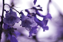 The universe is full of magical things, patiently waiting for our wits to grow sharper. (jewelflyt) Tags: flowers flower tree nature bokeh quote jacaranda processed hpps edenphillpotts perfectpurplesaturday