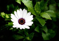 On until Morning (@Doug88888) Tags: pictures uk england white flower green floral canon eos 50mm leaf flora image blossom picture images petal buy bloom purchase 22nov 400d keygardens doug88888