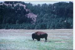 Bull Bison in the North Dakota Badlands (J. Stephen Conn) Tags: buffalo northdakota badlands bison theodoreroosevetnationalpark