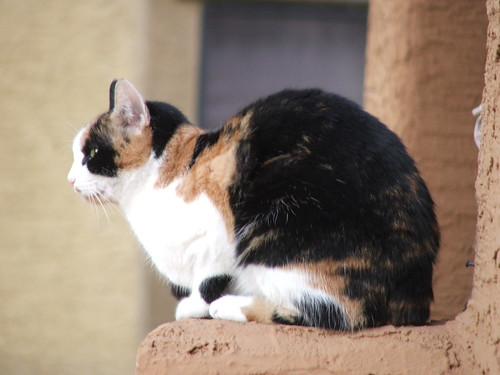 The Neighbor's Calico Cat