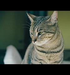 Ximena's Monday: Ximena in Green. (LinoPhilippe) Tags: chile santiago cats film cat catwomen kitten feline chat kitty gatos gato felino katze gatto katzen matou chatte chaton ximena proimage100 sigma105mm hauskatze felidi