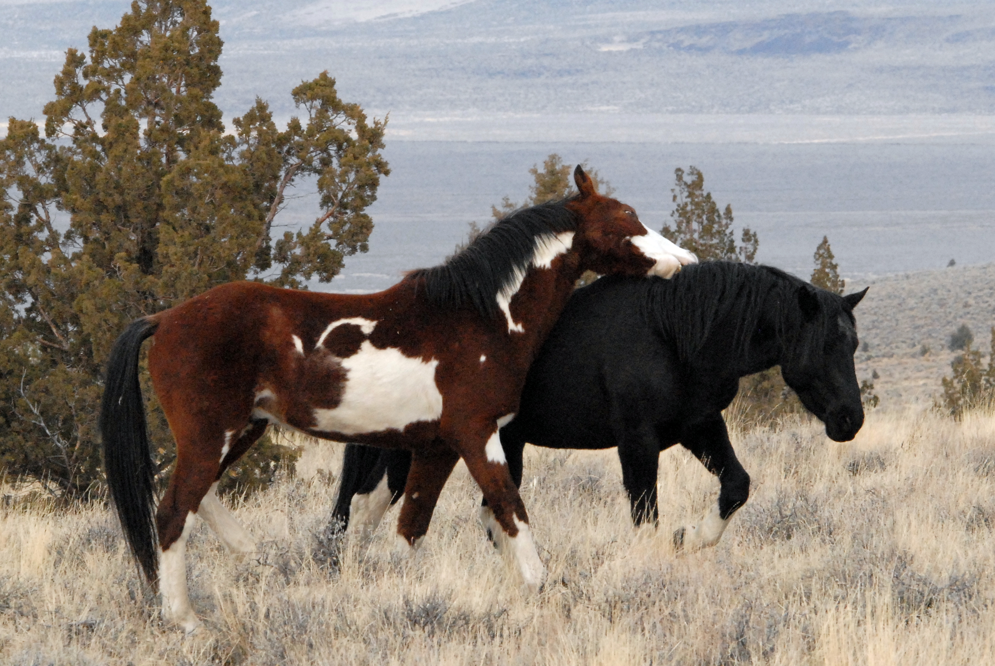 View Topic Thunder Valley Mustangs Realistic Wild Horse