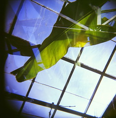 43960008 (The Greenery) Tags: film nature holga outdoor doubleexposure greenhouse bananaleaf colorholga color120