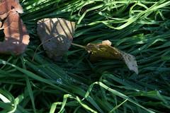 Rugiada.../Dew.. (Noeasy) Tags: autumn leaves foglie dew autunno rugiada eos400d