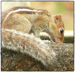 Squirrel Watch (Ganesh @bantakal.com) Tags: india nature animal squirrel asia karnataka udupi