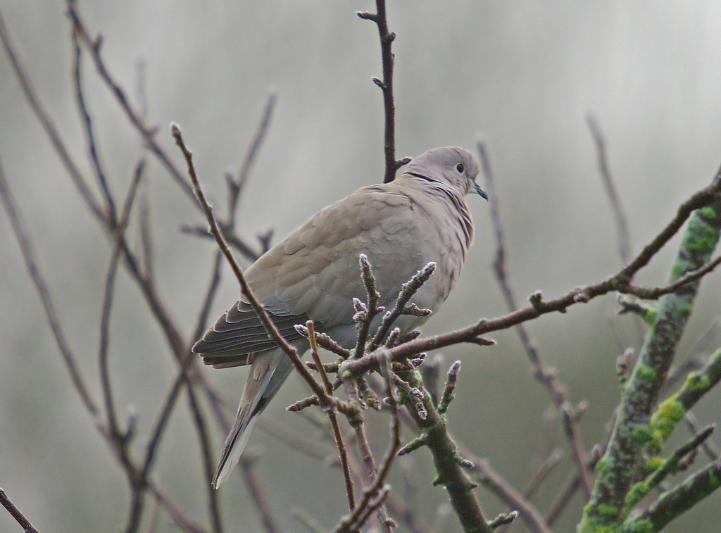 Collared Dove in the Fog