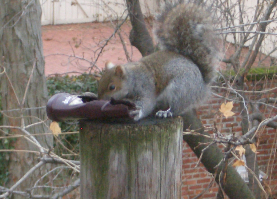 Hersh the Squirrel enjoys his stolen syrup