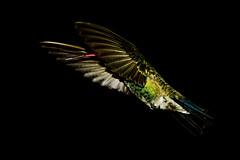 Dedicada a todos mis amigos (Jesus Guzman-Moya) Tags: friends naturaleza amigos bird nature mexico flying interestingness wings hummingbird action wildlife aves ave alas pajaro puebla soe accion volando i500 chuchogm jesúsguzmánmoya theperfectphotographer