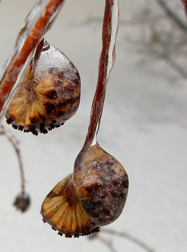 Ice seeds2