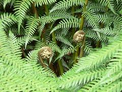 Tree Fern Frond (Cyatheales), The Lost Gardens of Heligan (eszsara) Tags: uk england fern garden cornwall frond gb heligan treefern anglia kert staustell thelostgardensofheligan pentewan páfrány cyatheales heliganslostgardens