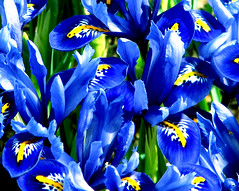 Happy New Year! (Spring will be here soon!) (dlco4) Tags: blue iris friends flower nature searchthebest blueribbonwinner supershot goldseal platinumphoto citrit goldstaraward dragongold