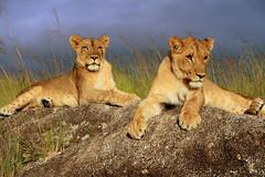 Have a rest (endraum) Tags: africa park wild sahara nature animal canon lion antelope zimbabwe cubs animalkingdom soriah specanimal animalkingdomelite mywinners endraum