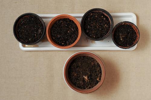 ルバーブ栽培:種まき