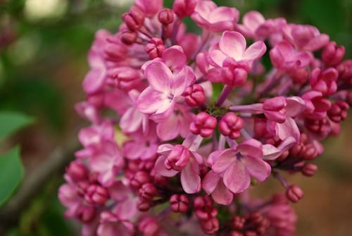 Pink liliac