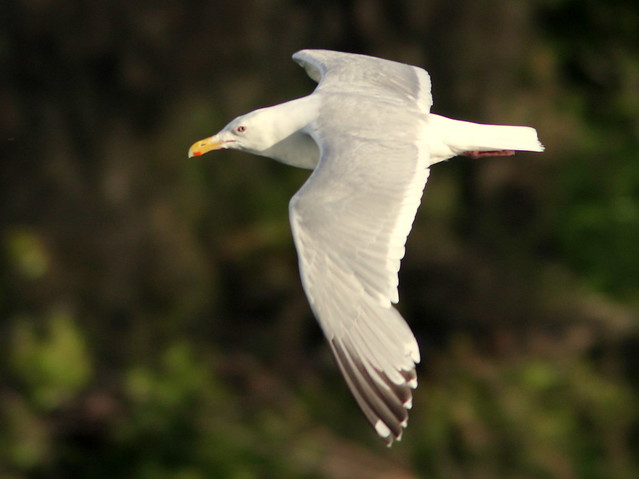 Glacous-winged Gull 20110621