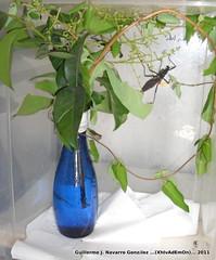 Peruphasma (Guillermo J. Navarro (XhIvAdEmOn)) Tags: insects terrarium phasmids terrariums peruphasma schultei platymeris sungaya inexpectata xhivademon shivademon peruphama
