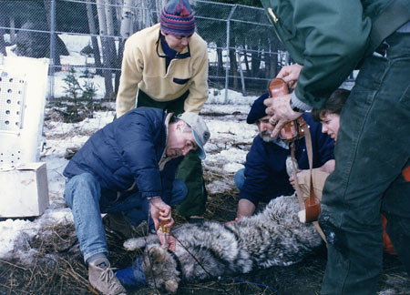Rodger Schlickeisen attaches a radio collar to a wolf reintroduced to Yellowstone National Park