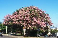 Chorisia (Sofocador) Tags: otoño córdoba toborochi paloborracho algodonero samohú palobotella barrigudo painero yuchán chorisiasp