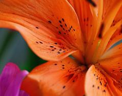Orange iris 2 (AIA GUY..Rwood) Tags: iris orange macro pedals spotted flowerscolors fantasticflower capturenx onlyyourbestshots goldstaraward woodnphotography