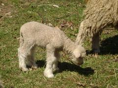 bandit's lamb 005