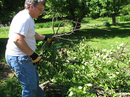 clearing pear limbs