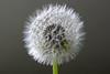 Dandelion - IMG_3024ax