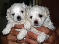 Ruby's pups: four weeks old (doc(q)man) Tags: two dog puppy couple pup maltese docman