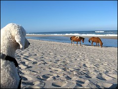 Wild Horses, Tame Dog (Thruhike98) Tags: ocean wild sky horse dog chien pet white co beach water animal island sand royal perro explore hund pony poodle standard 2008 assateague feral  bestinshow luma caniche pudel thruhike98 professionalequineimages
