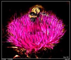 ETNA - RANDAZZO CITY - Region PIRAO   -   P7174038 (Felipe 1930) Tags: friends flower thistle vivid bee di ape pollen fiore etna breathtaking cardo naturesfinest polline artisticexpression golddragon of mywinners platinumphoto macroaward theunforgettablepictures macromix buzznbugz filippo1930 randazzocity macrosdenaturaleza regionpirao photographersgonewild amazingmacros beautifulmonsters