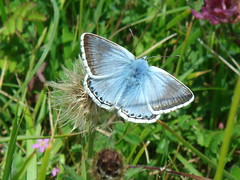 Chalkhill Blue at Durlston