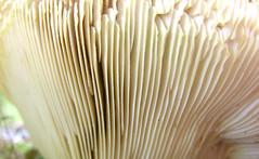 DSCN6691.jpg (jere7my) Tags: macro mushroom closeup forest mushrooms woods fungi fungus forestfloor pinewoods pinewoods2008