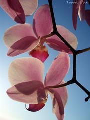 (anka.anka28) Tags: pink flowers blue orchid flower nature zielony kwiaty kwiat biały różowy mywinners goldstaraward storczy