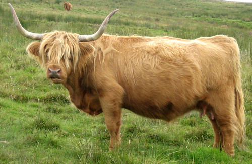 Kaim hill highland cattle