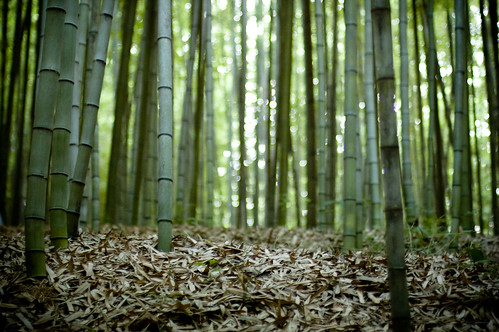 bamboo forest/ 50mm f1.4 ness