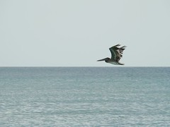 Brown pelican fly over
