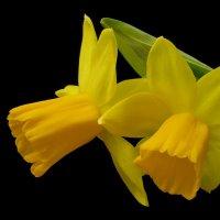 Daffodil Tête-á-Tête