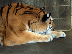 "RGZ - Amur Tiger ""Karana"" (fkalltheway) Tags: tiger behindthescenes bigcats pantheratigrisaltaica amurtiger rosamondgiffordzoo wildlifetrail fkalltheway tigerholdingarea flickrbigcats"