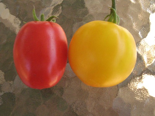 tomato red roma yellow tasteless
