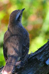 IMG_0021 (Max Hendel) Tags: bird nature birds freedom free pssaro ave winged uneasy livre alado postura egglaying warmblooded canoneosdigital classaves endothermic vertebrados bpede vertebrateani