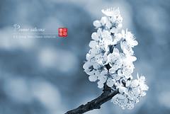 2008_04040142 (chinaphila) Tags: flower flora prunus cerasus rosaceae